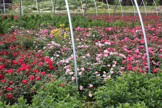 The dirty little secret no one is talking about Rosette Disease